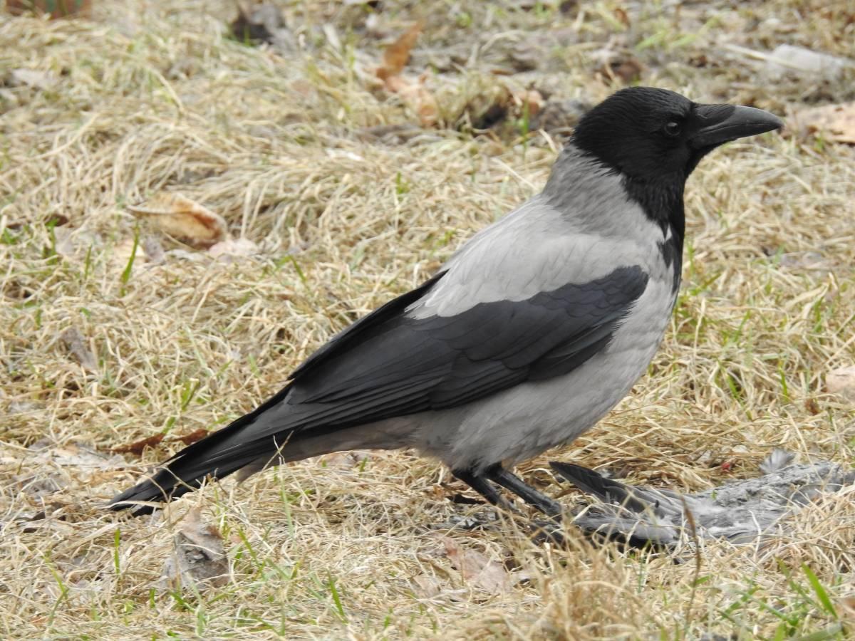 парк фото птицы ворона серая край известен