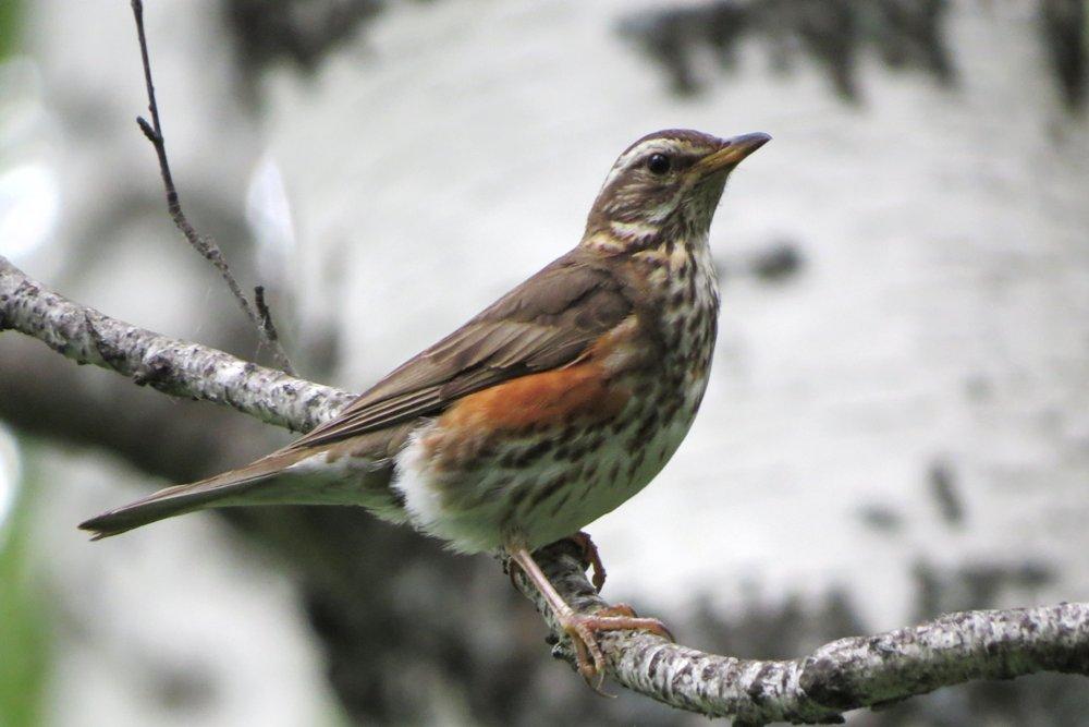 представленная птицы тюменской области фото и названия описание